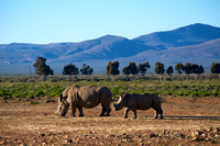 Rhino mother and calf. Inverdoorn, South Africa