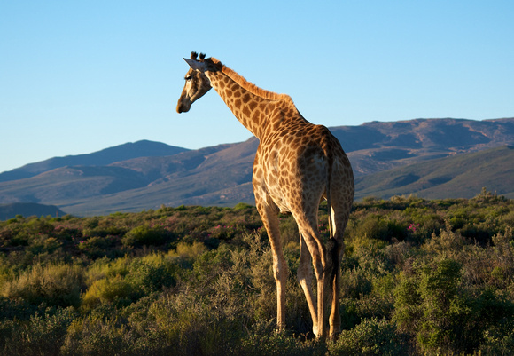 Giraffe at Inverdoorn Game Reserve, South Africa
